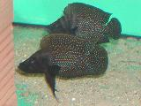 Altolamprologus calvus black pectoral