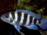 Neolamprologus sexfasciatus zambia