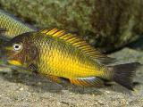 Tropheus kazumbe gold